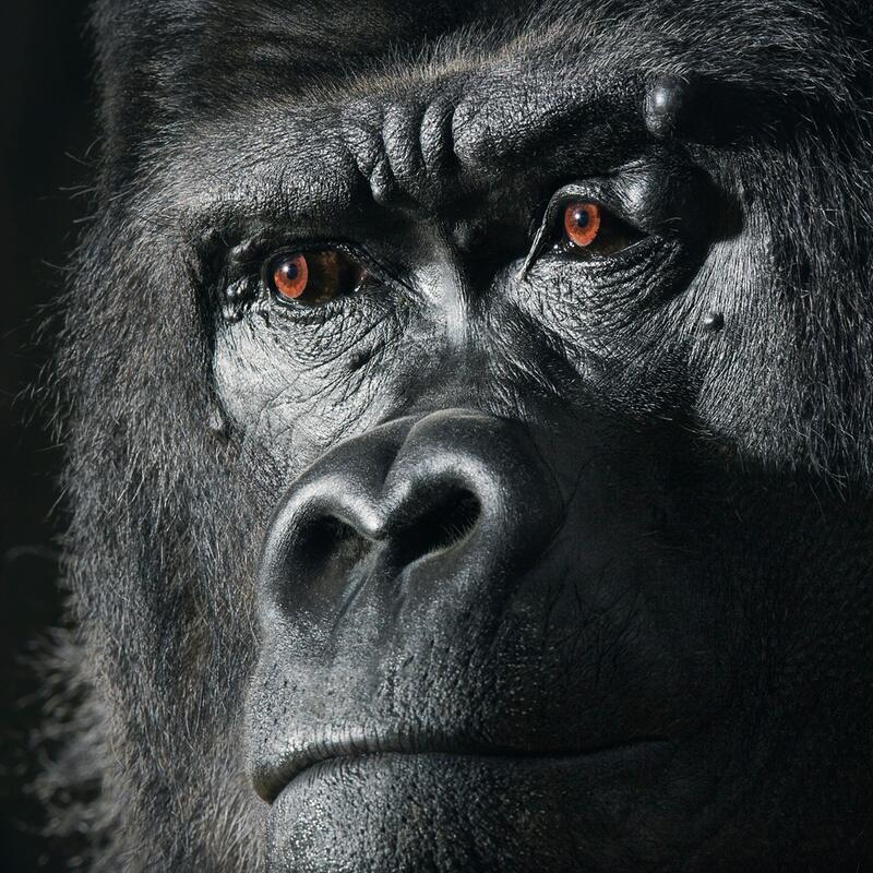 Bild zu Gorilla in Gefangenschaft