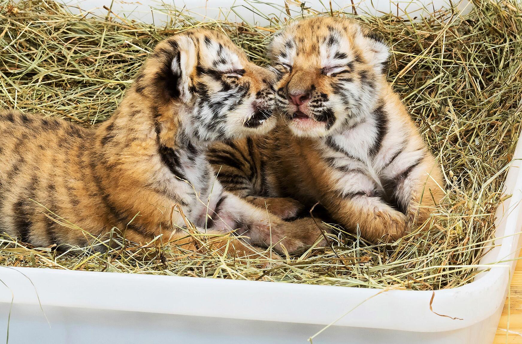 Bild zu Tigerbabys aus Privathaushalt gerettet