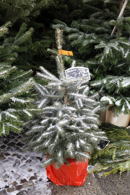 Bild zu Weihnachtsbaum im Topf