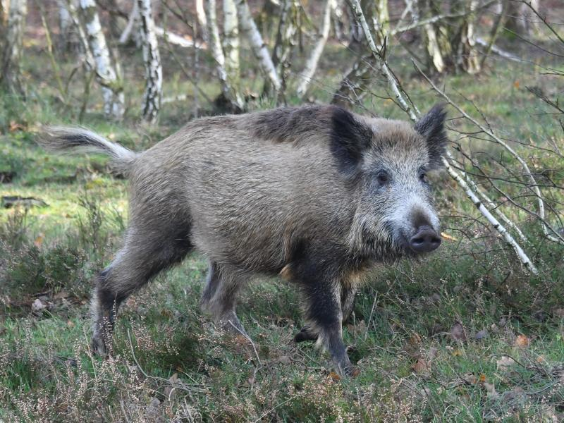 Bild zu Wildschschwein