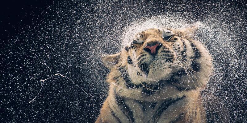 Bild zu Königstiger schüttelt sich