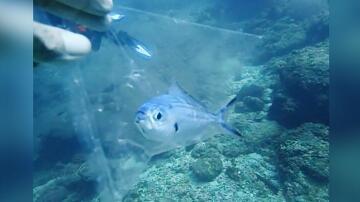 Bild zu Taucher, Fisch, Rettung, Thailand, Phuket, Küste, Plastiktüte