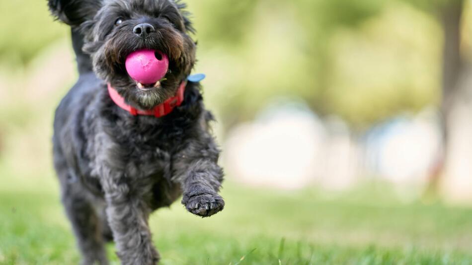 Hund, der mit einem Ball spielt