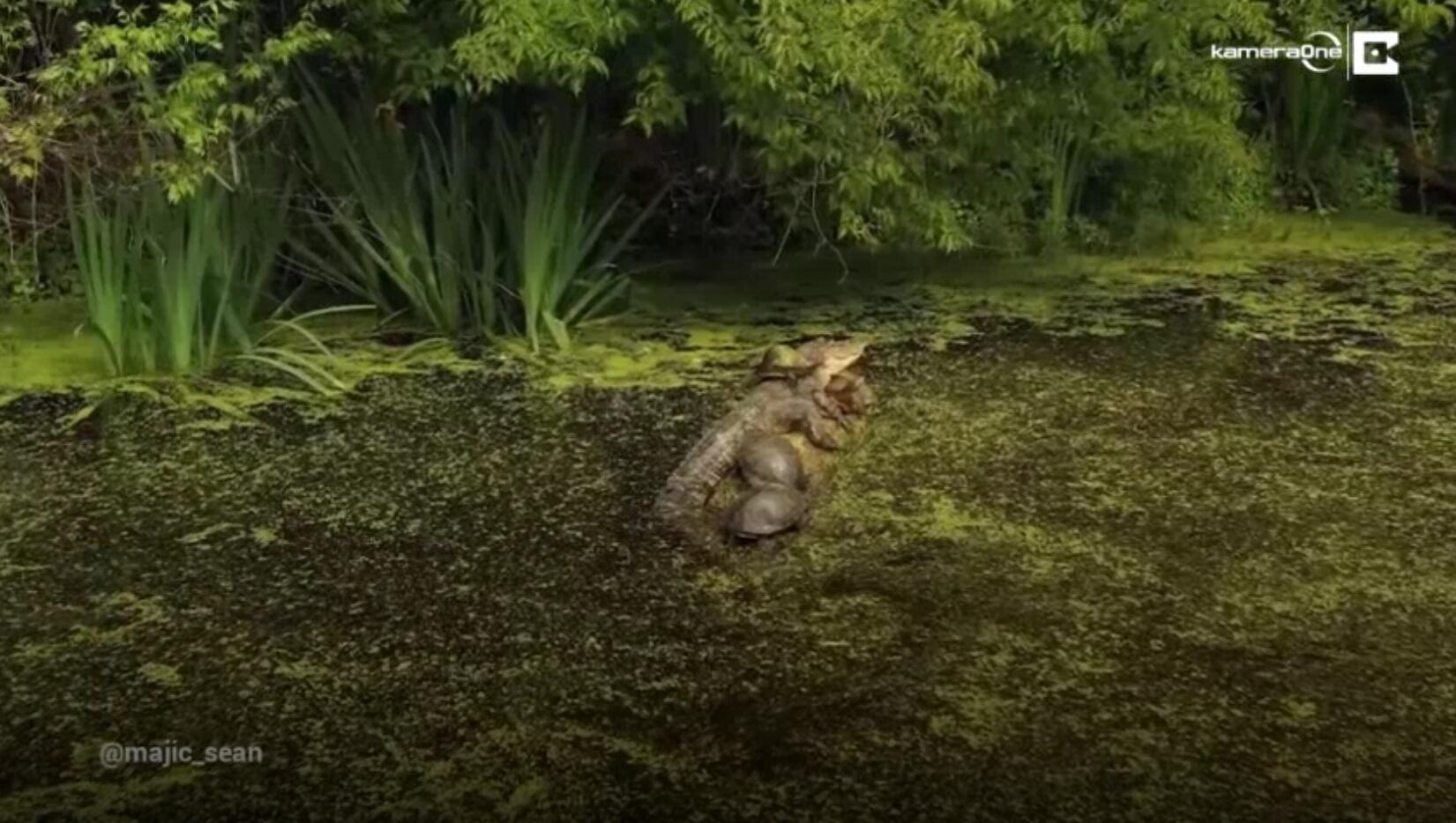 Bild zu Alligator