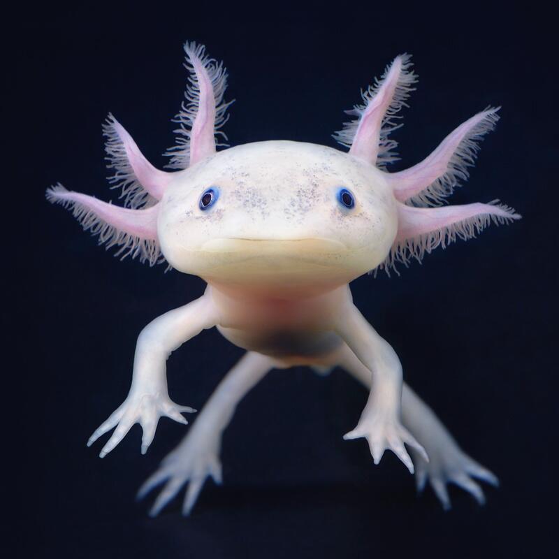 Bild zu Das Axolotl-Babyface - ein ewiger Jungbrunnen?