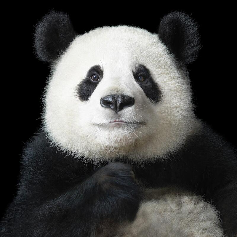 Bild zu Panda in Dreiecksbeziehung