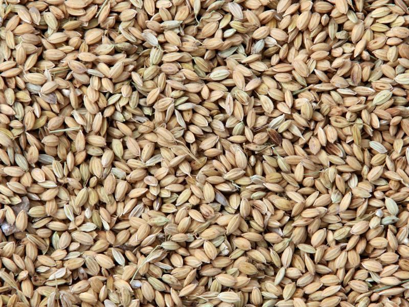 Bild zu Frisch geernteter Reis