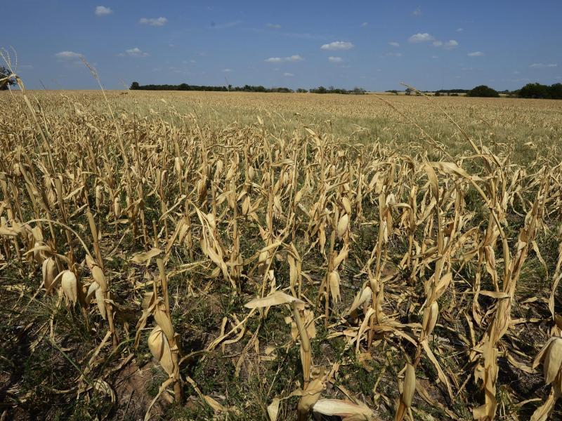 Bild zu Vertrocknetes Maisfeld in den USA
