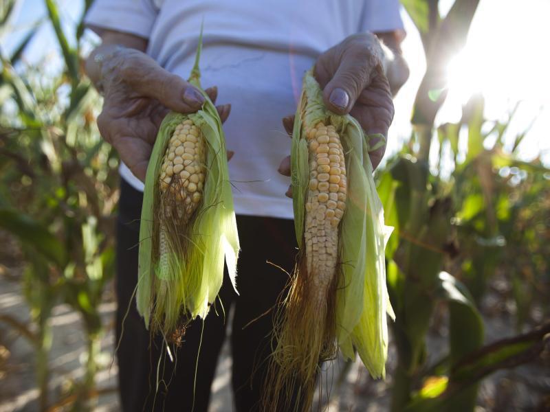 Bild zu Mais