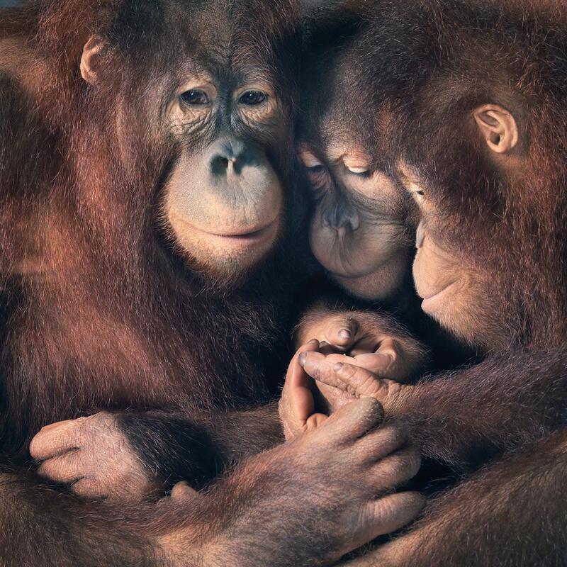 Bild zu Orang-Utans in vertrauter Gemeinschaft
