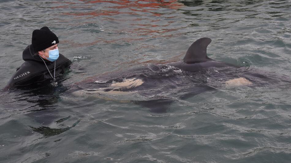 Orca-Baby vor Neuseeland