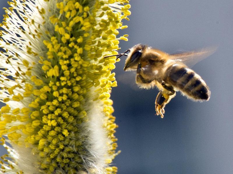 Bild zu Biene im Anflug
