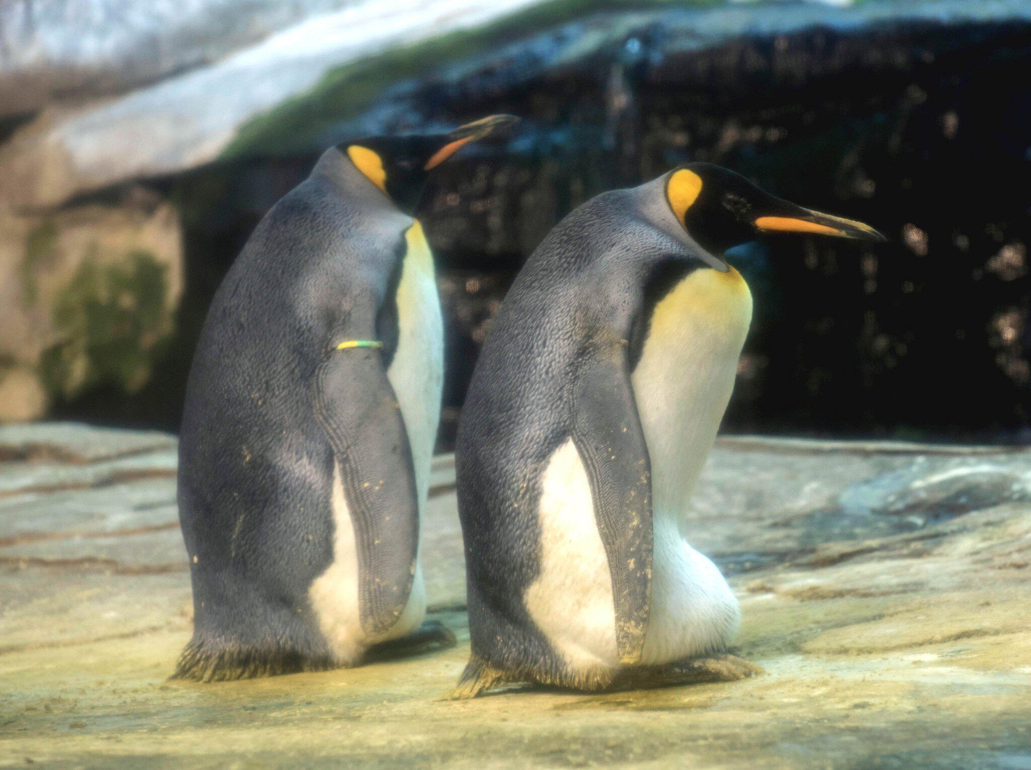 Bild zu Schwules Pinguinpaar brütet Ei