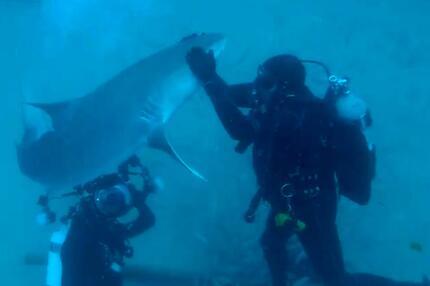 Tigerhai auf Kuschelkurs