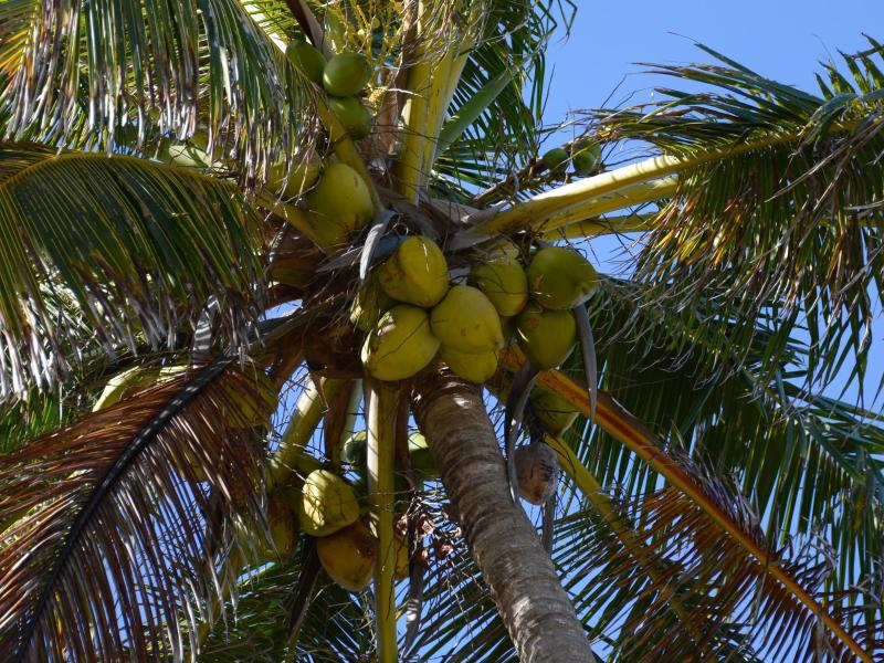 Bild zu Kokospalme als Bratölliferant