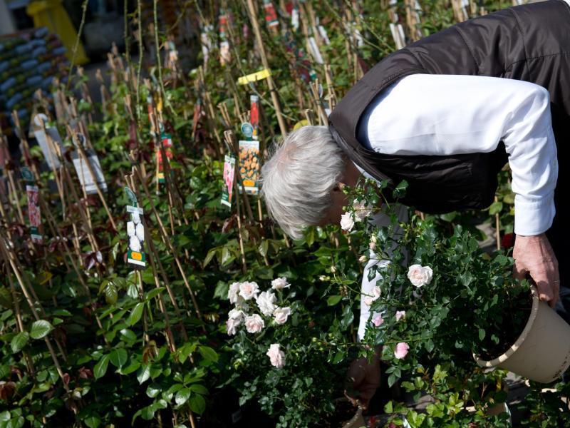 Bild zu Rosen vom Blumengroßmarkt