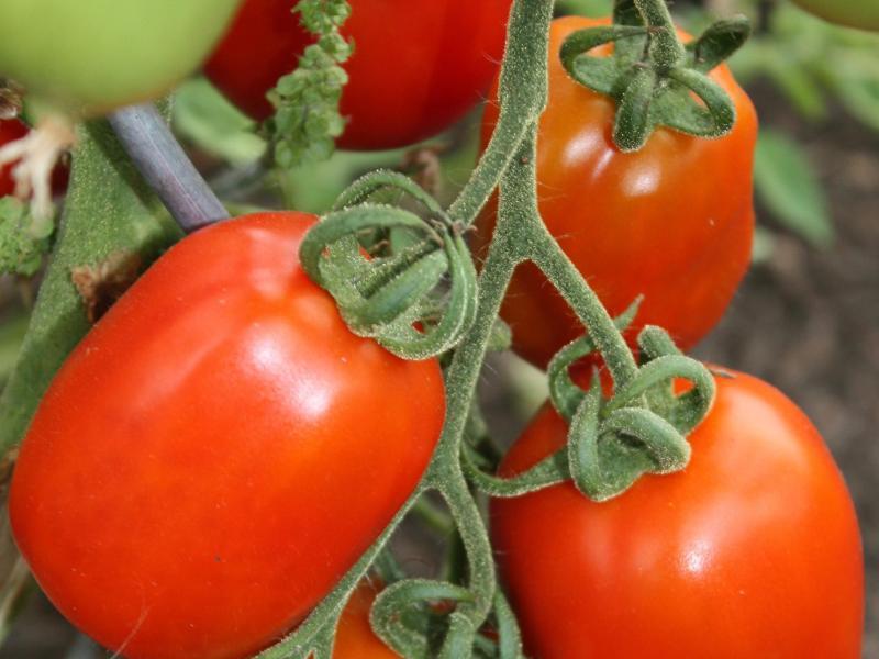 Bild zu Tomaten