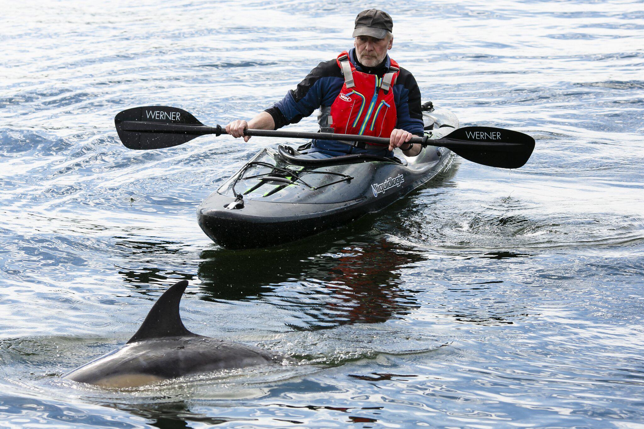 Bild zu Erneut ist ein Delfin Gast in der Kieler Förde