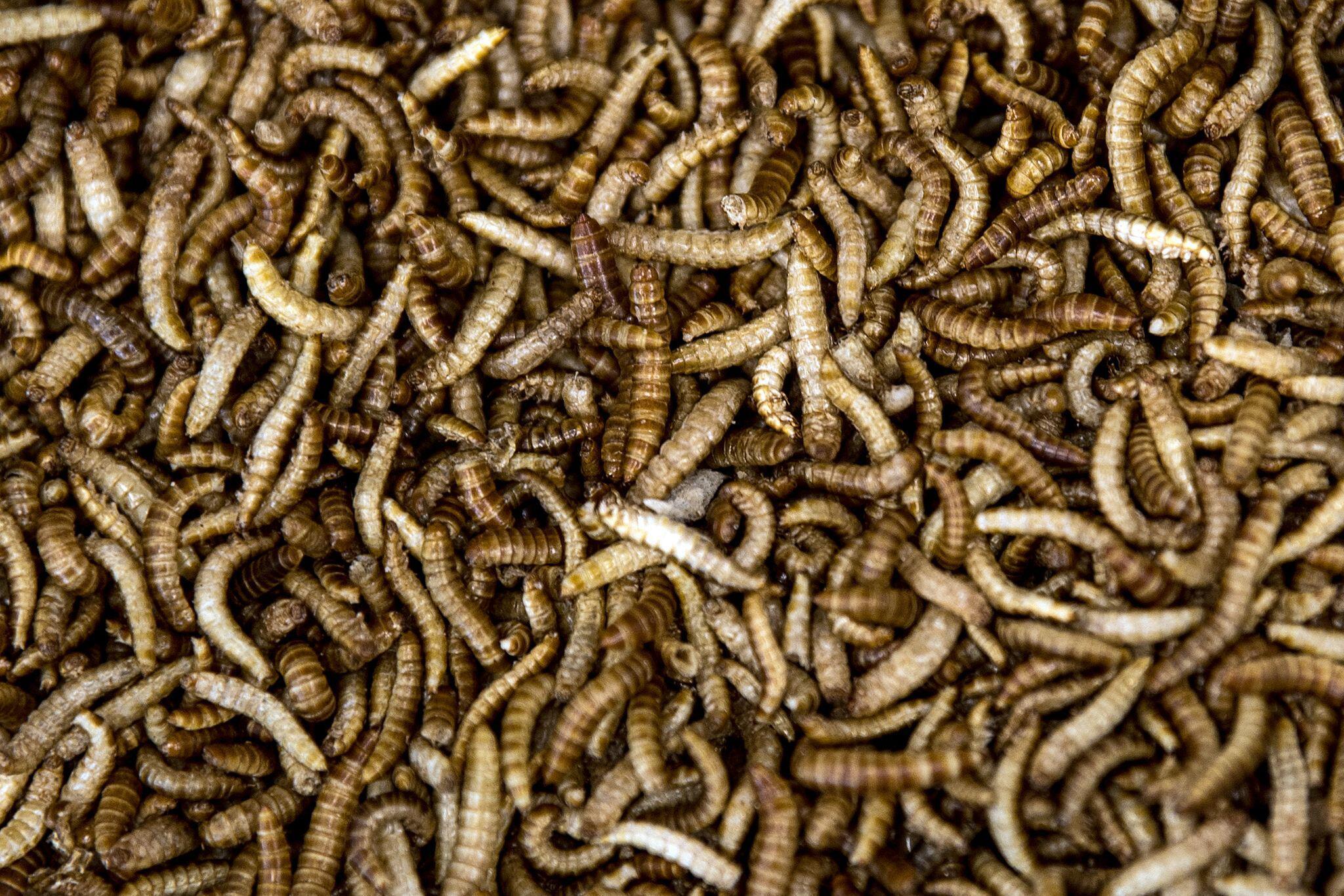 Bild zu Mehlwürmer