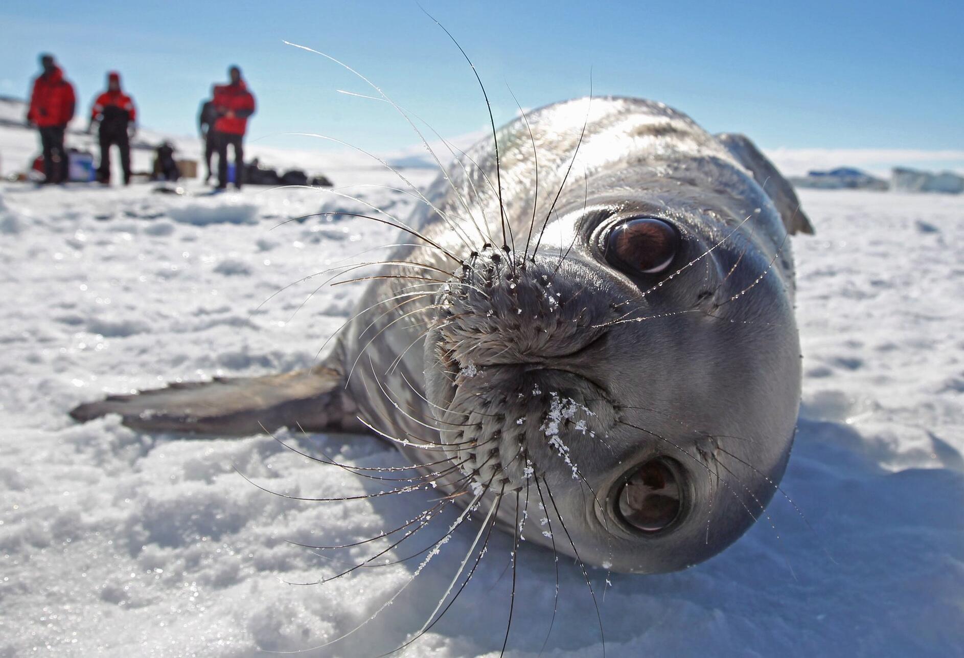 Bild zu Weddellrobbe in der Antarktis