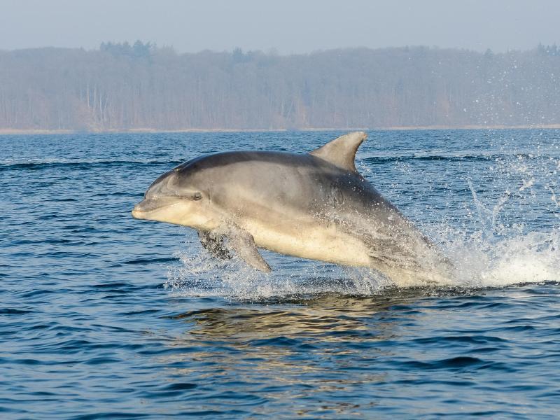 Bild zu Delfine in Flensburger Förde