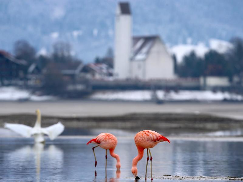 Bild zu Flamingos im Allgäu