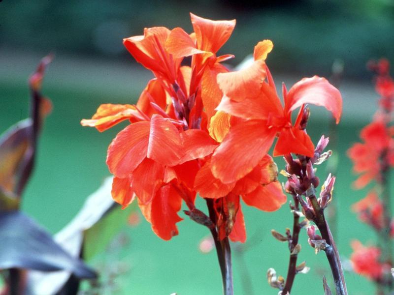 Bild zu Indisches Blumenrohr