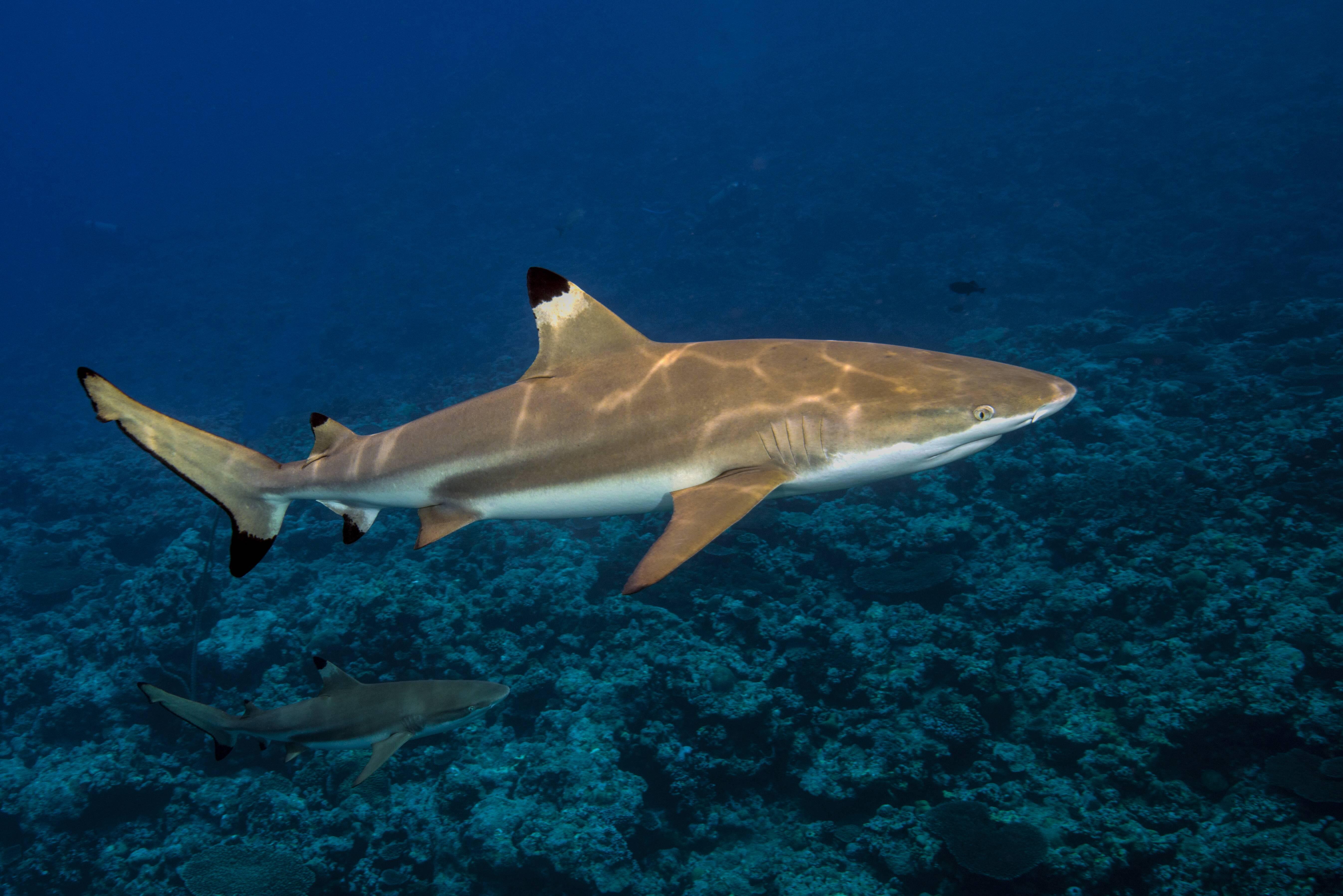Bild zu Haie gefährlich Urlaub