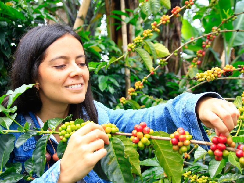Bild zu Kaffee selbst ernten