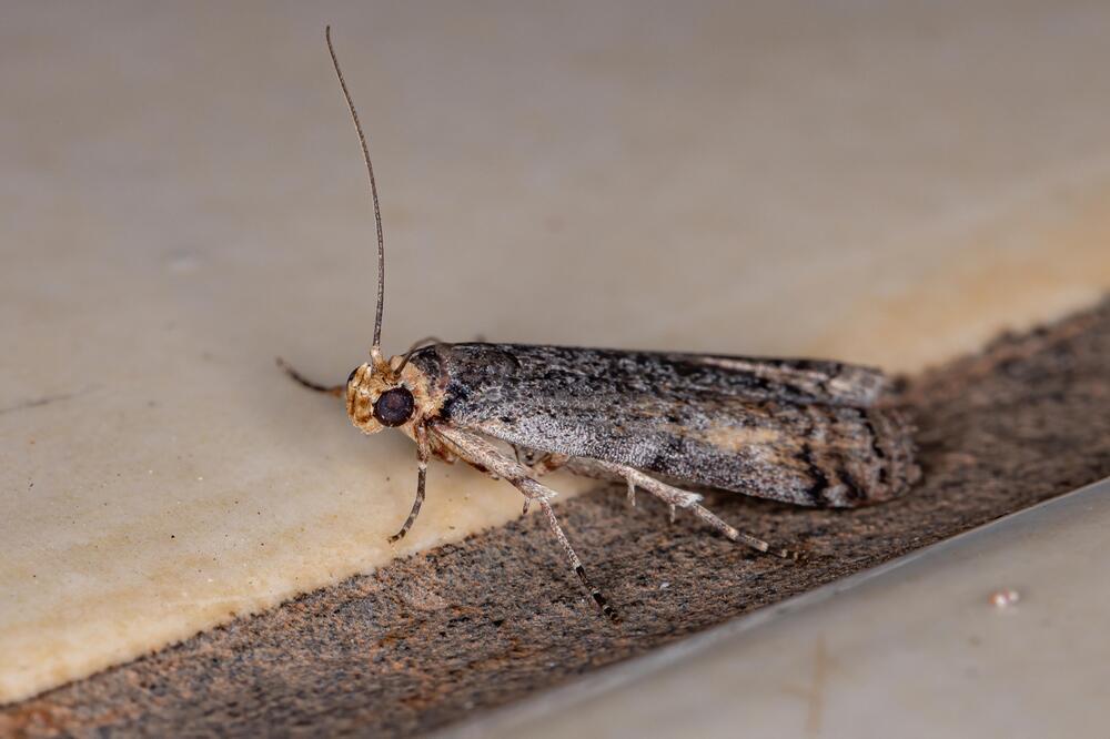 Die Phycitinae gehört zur großen Unterfamilie der Zünsler.