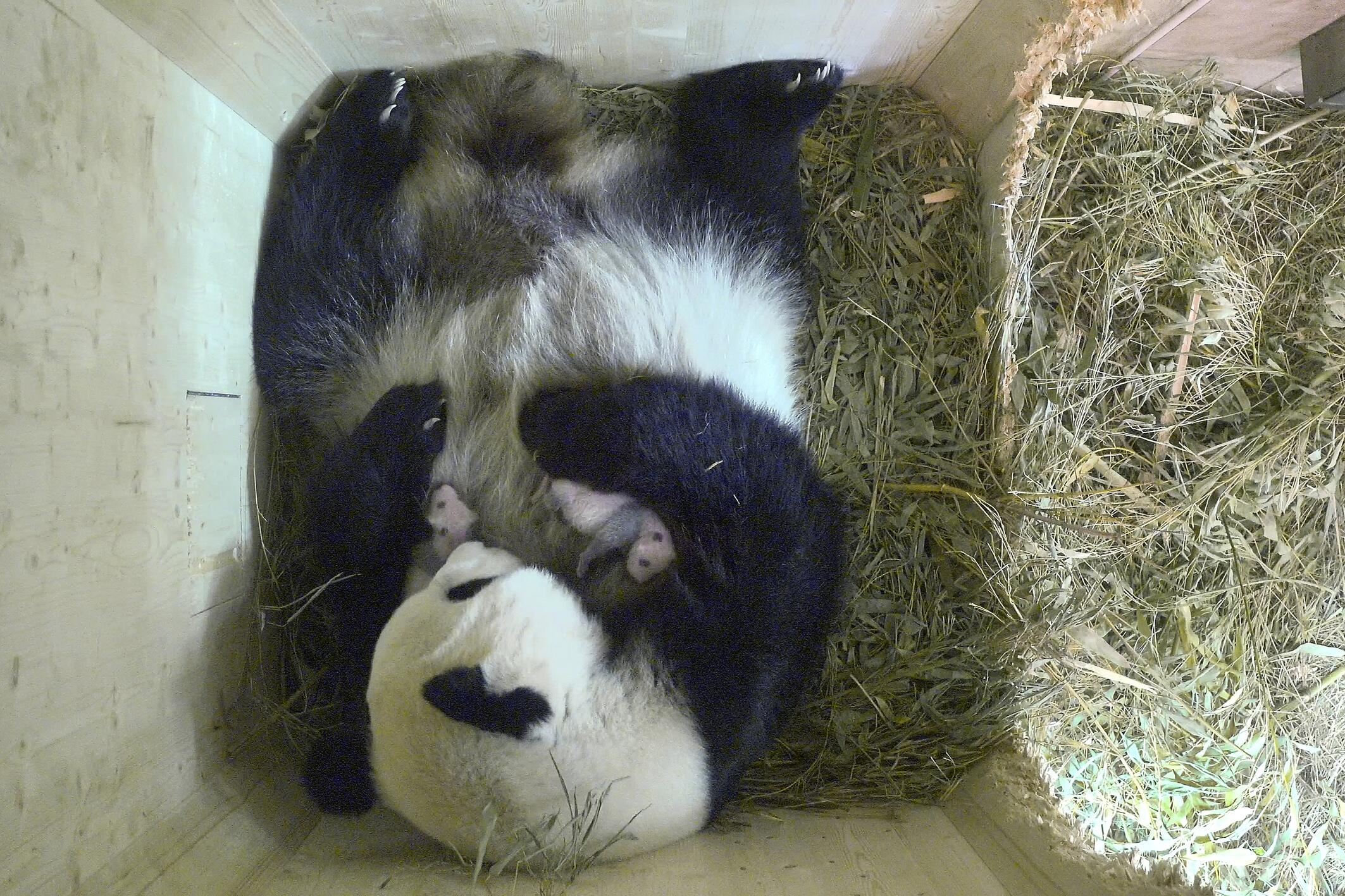 Bild zu Panda, Zwillingen, Schönbrunn, Tiergarten, Großer Panda