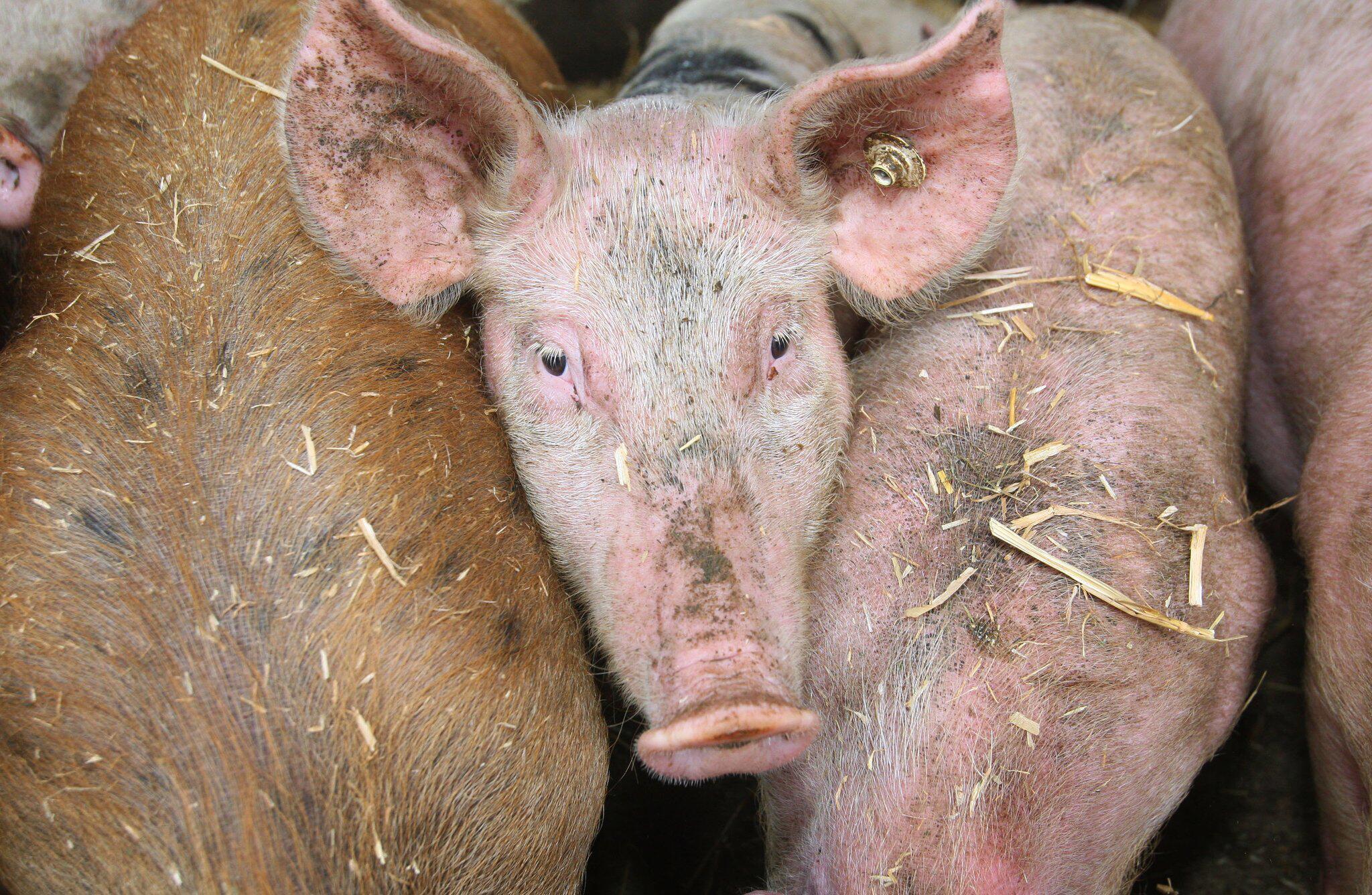 Bild zu Schweine auf Bauernhof