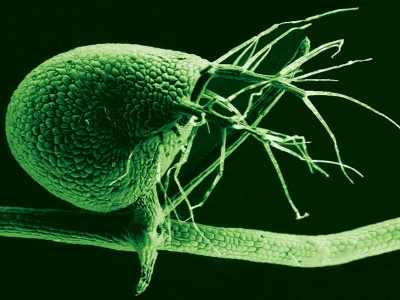 Bild zu Fangblase des Zwerg-Wasserschlauchs