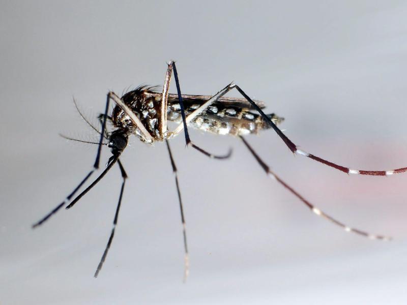 Bild zu Mücke Aedes aegypti