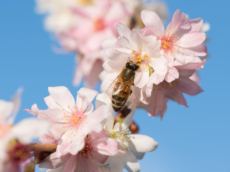 Bild zu Biene auf Blüte