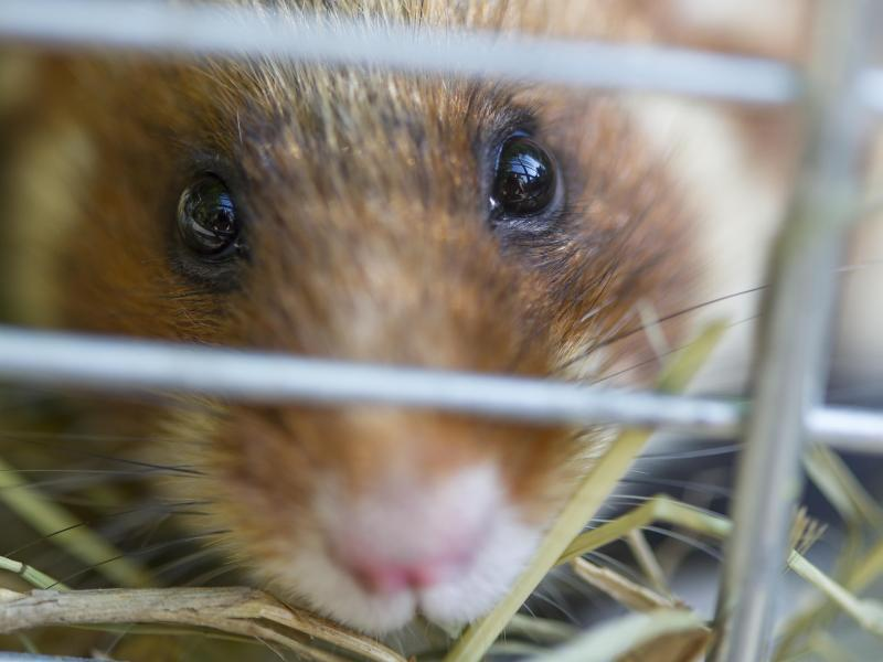 Bild zu Hamster