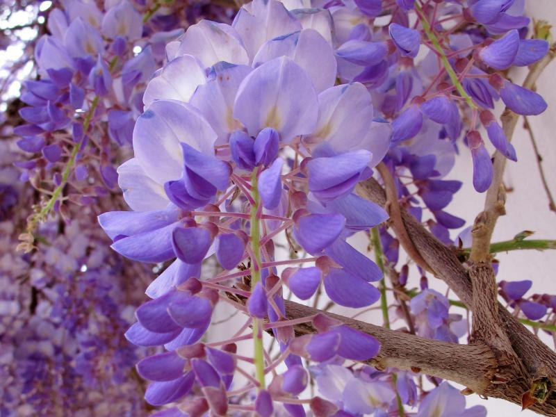 Bild zu Blühender Blauregen