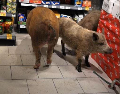 Bild zu Schweine