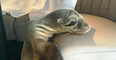 Seelöwenbaby in Hotel