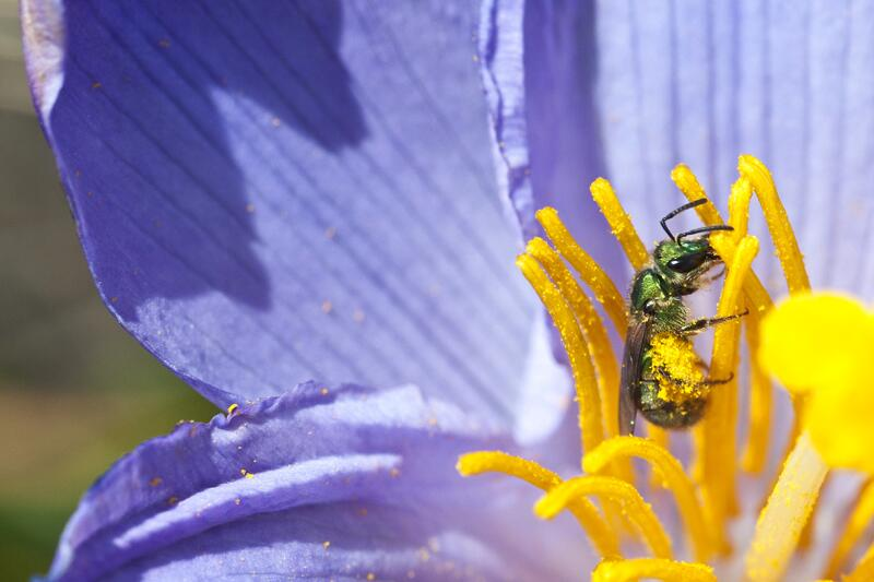 Bild zu Pollen sammelndes Insekt