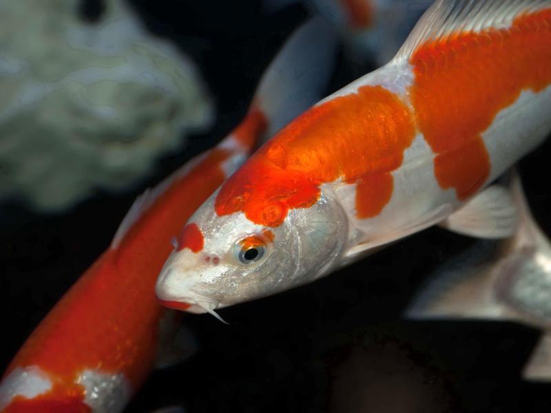 Nicht ohne artgenossen so f hlen sich fische im teich wohl for Fische im gartenteich