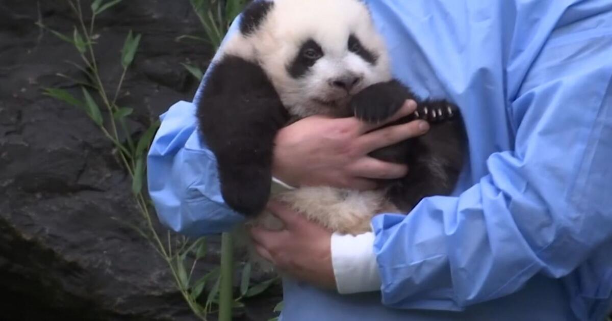 Kleine Pandas haben Namen: Belgischer Zoo tauft süßes Zwillingspaar