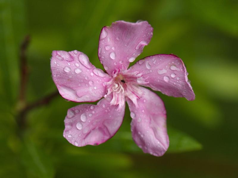 Bild zu Oleander-Blüte mit Regentropfen