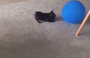 Ein Mops und ein Ballon.