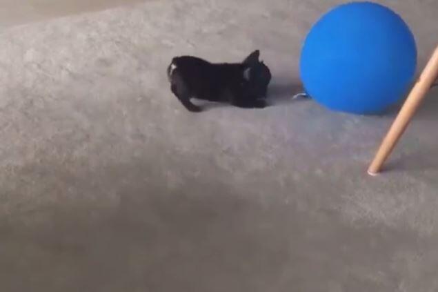 Bild zu Ein Mops und ein Ballon.