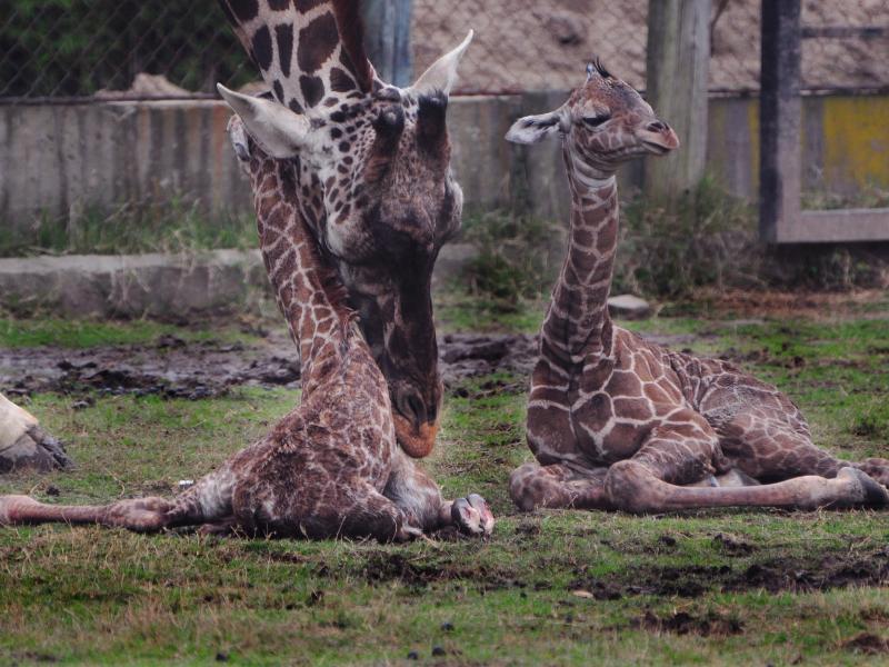 Bild zu Giraffen-Zwillinge