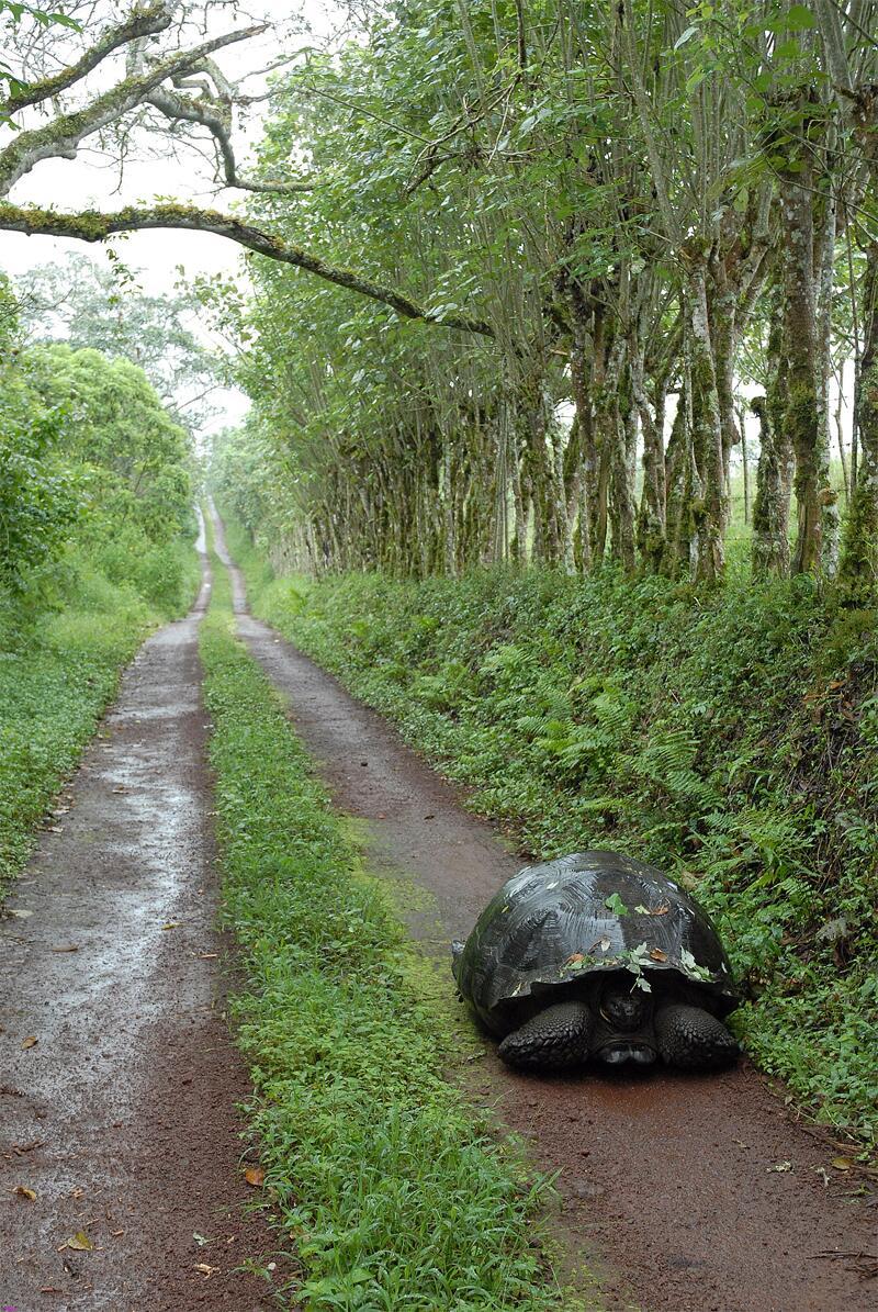 Bild zu Galápagos-Schildkröte