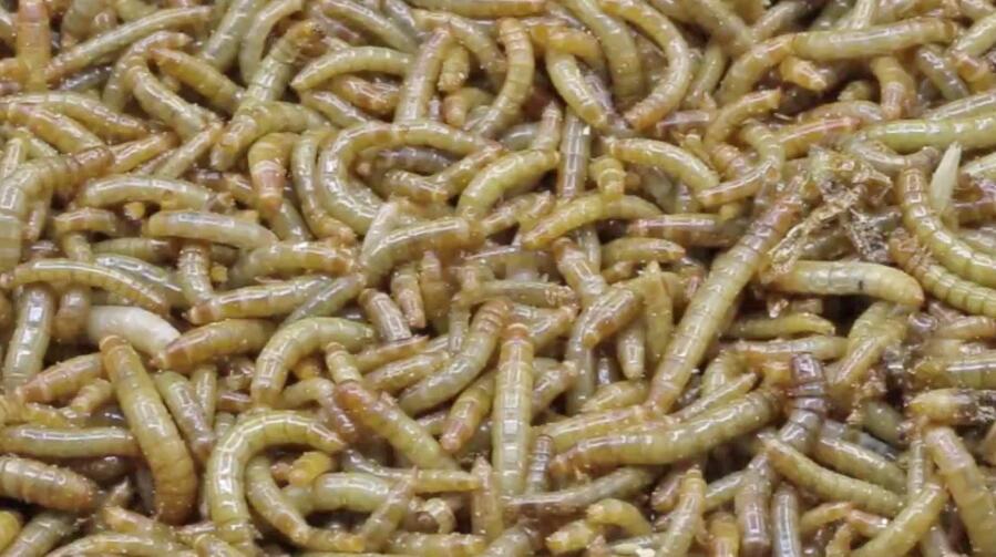 Bild zu Pasta-Fans, aufgepasst: Jetzt gibt es Mehlwurm-Nudeln