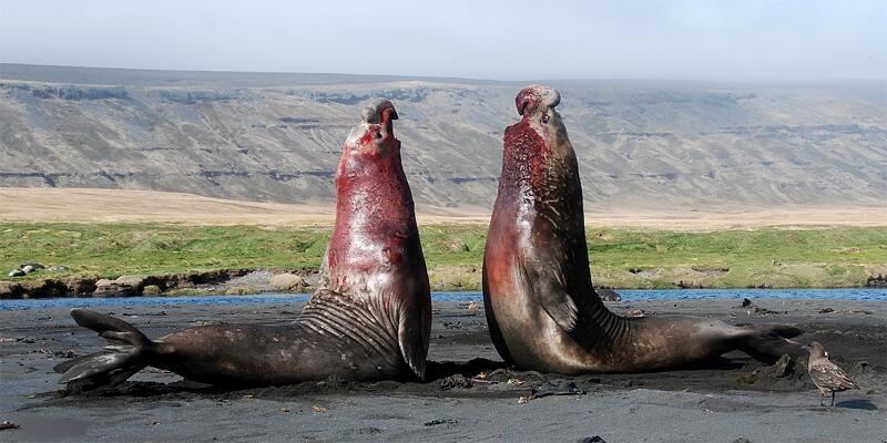 Bild zu Kampf der See-Elefanten