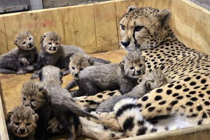 Gepardendame, Gepardin, Bingwa, acht Junge, Gepardenbabys